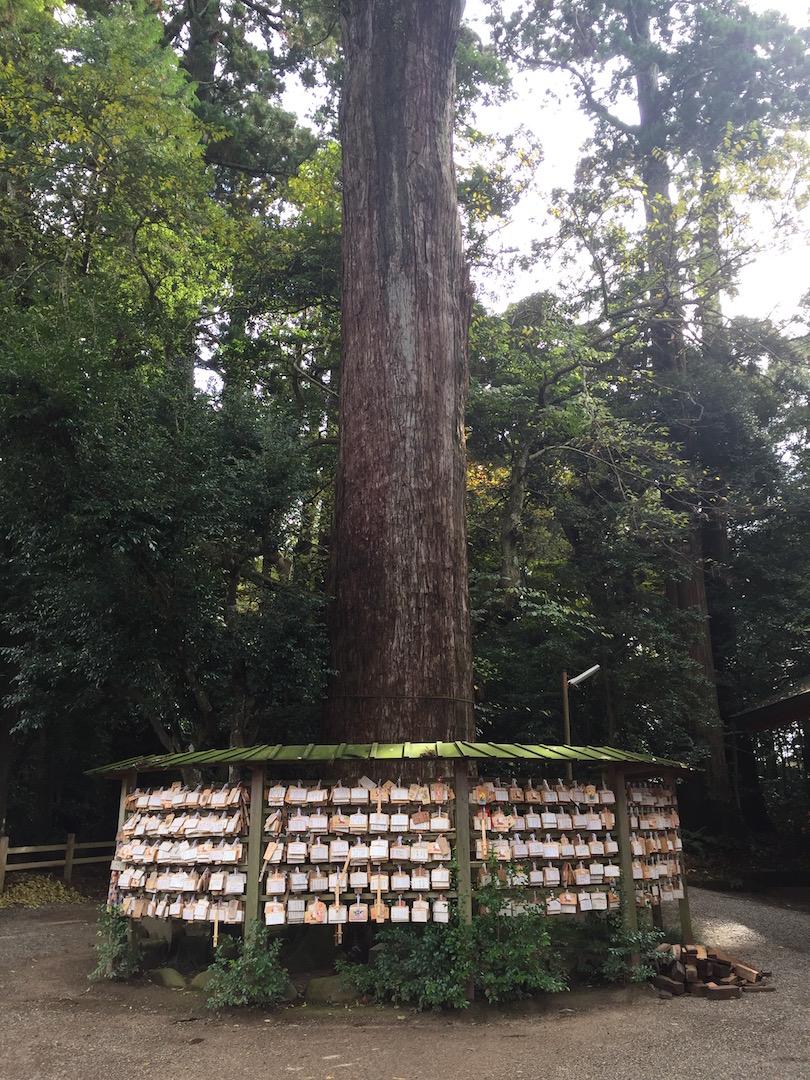 鹿島神宮 二郎杉